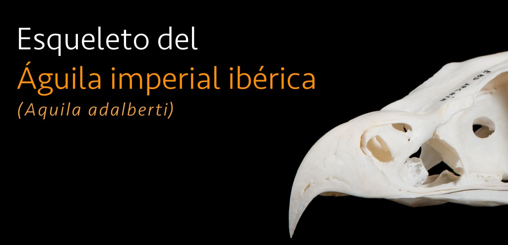 Esqueleto_Aguila_imperial_iberica_parentesis
